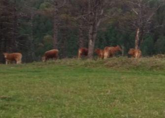 Vacas sin control por los montes de Oiartzun-Añarbe