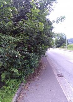 Arbustos invadiendo acera pública